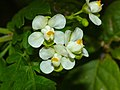 Balloon Vine (Cardiospermum grandiflorum) flowers (13928211846).jpg