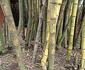 Bamboo Sri Lanka.JPG