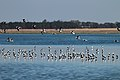 Banded Stilts (24746105031).jpg