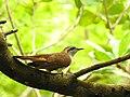 Banded bay cuckoo ചെങ്കുയിൽ - 8.jpg