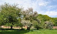 Bank Hall Walled Garden Apple Trees May 2010.JPG