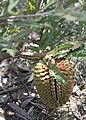 Banksia aculeata-7.JPG