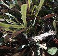 Banksia petiolaris foliage.jpg