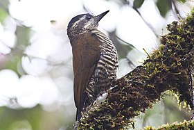 Bar-bellied Woodpecker (Veniliornis nigriceps) (8079755800).jpg