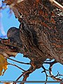 Bar-tailed Tree-creeper (Certhia himalayana) (16336574184).jpg