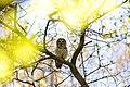 Barred owl (40640947244).jpg