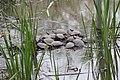 Basking Turtles Tinicum (256531765).jpeg