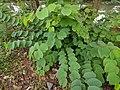 Bauhinia purpurea 24.jpg