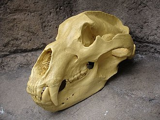 Brown bear - Brown bear skull