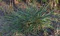 Beargrass (2972761132).jpg
