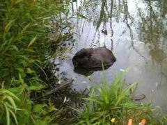 Файл:Beaver in Khimka River.webmsd.webm