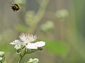 Bee beside flower (14397736543).jpg