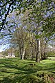 Beech Trees - geograph.org.uk - 1286356.jpg