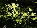 Beech leaves at Coney's Castle - geograph.org.uk - 475849.jpg