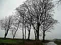 Beeches near Haynetown - geograph.org.uk - 664392.jpg