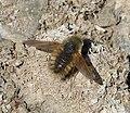 Beefly. Bombyliidae (32862165451).jpg