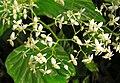 Begonia diptera (1).jpg