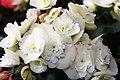 Begonia x hiemalis Clara 1zz.jpg