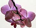 Berlin rosa Phalaenopsis von hinten.jpg