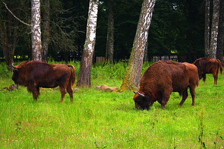 Bialowieza Forest, an ancient woodland in eastern Poland and a UNESCO World Heritage Site, is home to 800 wild wisent. Bialowieski Park Narodowy03 23a.jpg