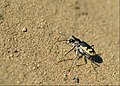 Big Sand Tiger Beetle (29236100572).jpg