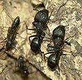 Big black ants, Jaura, India.jpg
