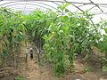 Biologische Gemüseproduktion im Treibhaus Niederösterreich 2012.jpeg
