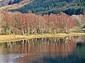 Birches and alders on the shore of Loch Voil - geograph.org.uk - 760932.jpg