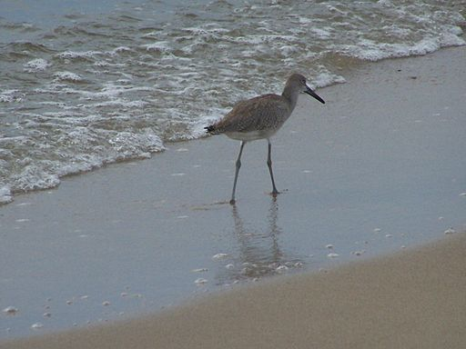 Bird walking the beach (5816907810) (2)