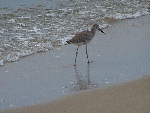 Bird walking the beach (5816907810) (2)