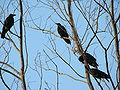 Birds Bangladesh 2 (2).JPG