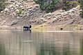 Bison exiting the Yellowstone River (48719373682).jpg
