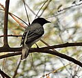 Black-headed Cuckooshrike (Coracina melanoptera) at Sindhrot near Vadodara, Gujrat Pix 107.jpg