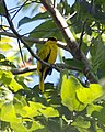 Black-naped Oriole, Oriolus chinensis celebensis - Flickr - Lip Kee.jpg