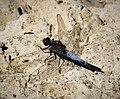Black-tailed Skimmer. Orthetrum cancellatum (44922702364).jpg