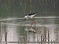 Black-winged Stilt (Himantopus himantopus) (15894148995).jpg