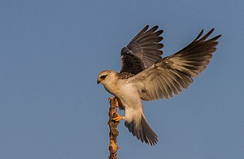 Black-winged kite 01.jpg