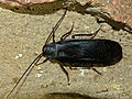Black Cockroach (Deropeltis sp.) (11691293215).jpg