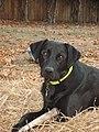 Black Labrador Retriever.JPG