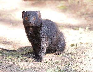 Black mongoose - Image: Black mongoose waterberg