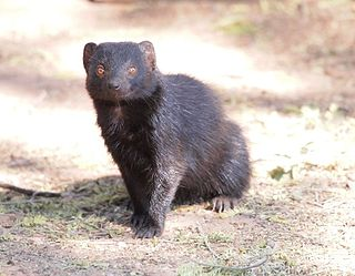 Black mongoose species of mammal