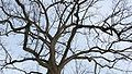 Black walnut tree winter.jpg