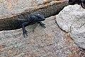 Black zonure Cape Point.jpg