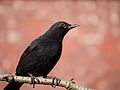 Blackbird in sunlight.JPG