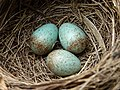 Blackbird nest with 3 eggs.jpg