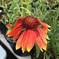 Blanketflower - Gaillardia aristata IMG 7406.jpg