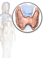 The thyroid gland also lies on top of the trachea, and lies below the cricoid cartilage. The isthmus of the thyroid, which connects both wings, lies directly in front, whereas the wings lie on the front and stretch to the side.