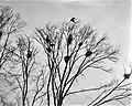 Blauwe reigers in het Vondelpark, Bestanddeelnr 910-1769.jpg