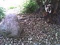 Blindschleiche-im-Garten.jpg