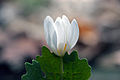 Blood root mcp.jpg